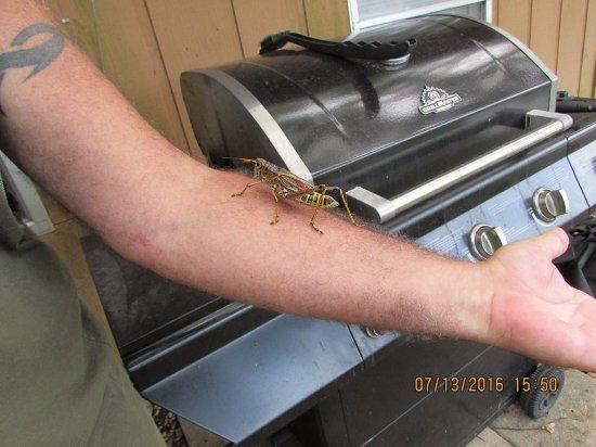 Astor, FL: Giant grasshopper.
