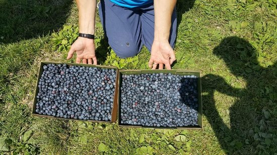 Maiden Rock, WI: 20 pounds of lucious berries!