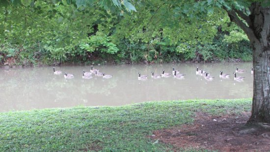 Third Creek Greenway: The geese like the most stagnant part of the creek.