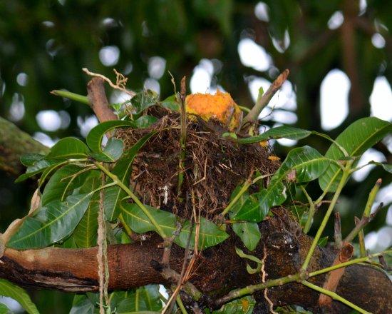 Grecia, Costa Rica: Thus the name, mango valley, a half-eaten mango in a tree