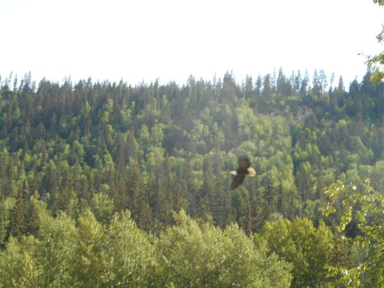 Chilkat River Adventures : Eagle in flight.