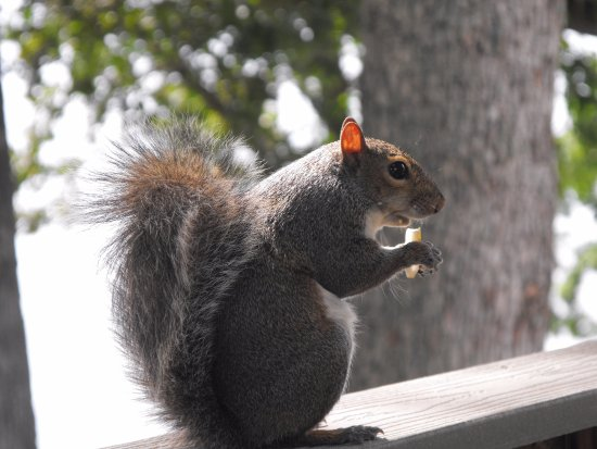 Grand Rivers, KY: Squirrels climb right on the porch to visit!