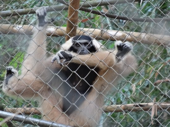 "Gibbon Rehabilitation Project : ""Guiness"" born in 1985"