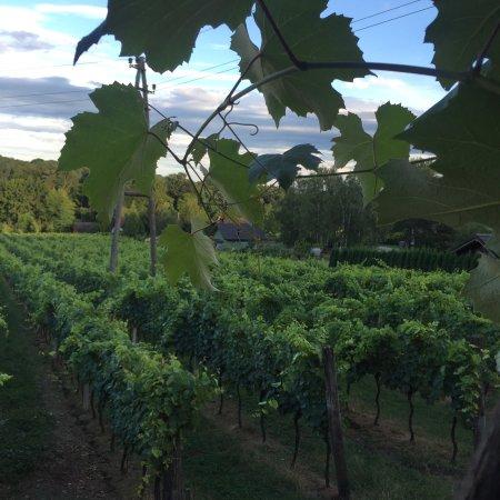 Murska Sobota, Slovenya: View of vineyard