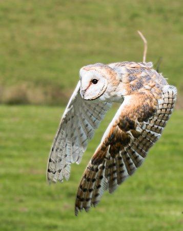 Helmsley, UK: Snowy owl