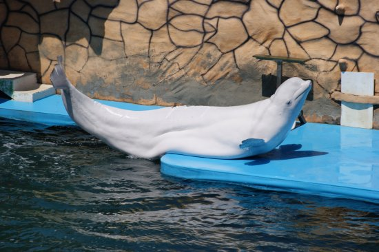 Bolshoy Utrish, Rosja: Белуха-белый дельфин