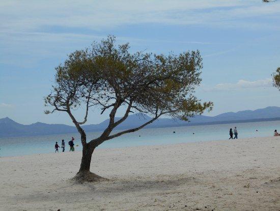 Playa Alcudia Hay Arboles Que Dan Sombra Al Paseoeste Me Parecio - Arboles-que-dan-sombra
