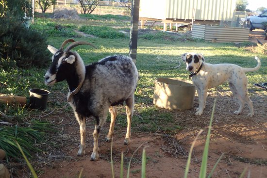 Windorah, Australien: Friendly local pets