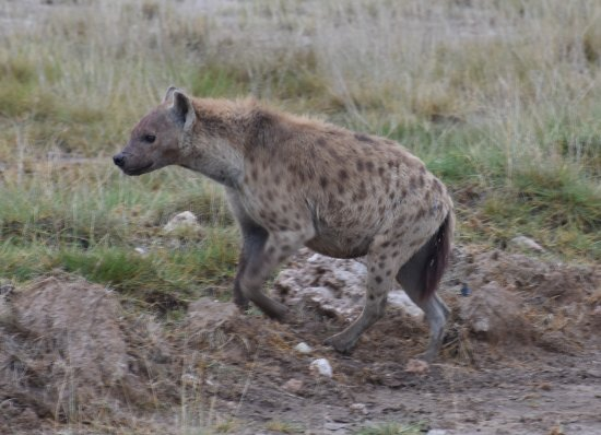 East Africa Adventure Tours and Safaris - Day Tours: Spotted Hyena, Amboseli