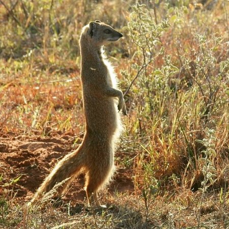 Amakhala Game Reserve, Südafrika: Little yellow mongoose