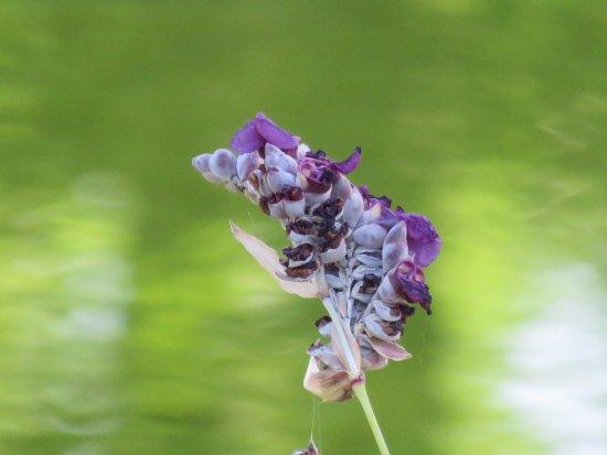 Rigutino, Włochy: fiori del laghetto