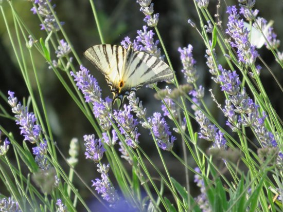 Rigutino, Włochy: farfalla podalirio su lavanda