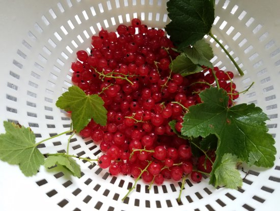 The Centennial House Bed and Breakfast: Currants from our garden 7 a,m,