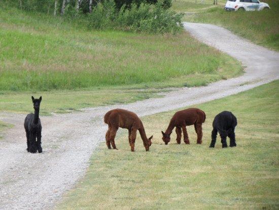 Paul Ranch Montana LLC: Alpacas