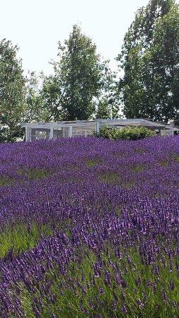 Sequim, WA: Fields of lavender