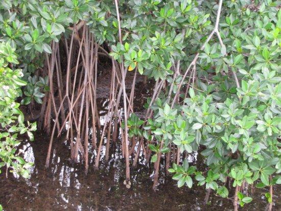 Homestead Bayfront Park: мангровые заросли