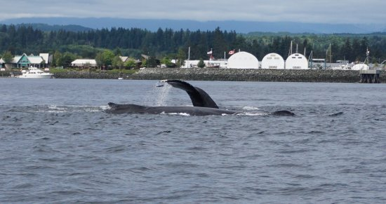 Campbell River, Canadá: Hump back whale