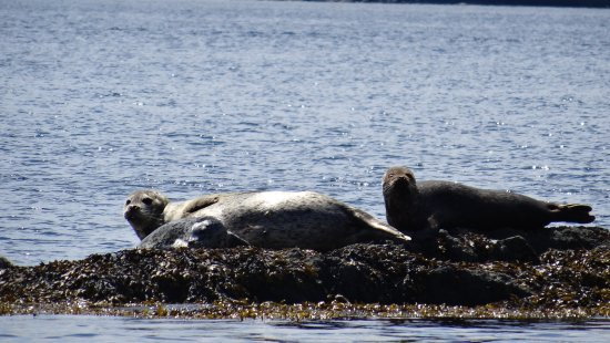 Campbell River, كندا: Seals and Sea Lion
