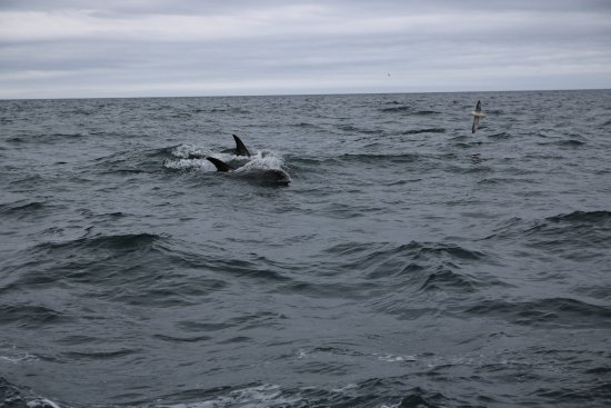 Breiddalsvik, Ισλανδία: Huge dolphins came to check us out!
