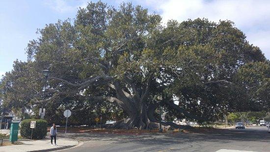 Moreton Bay Fig Tree : 20160717_101321_large.jpg
