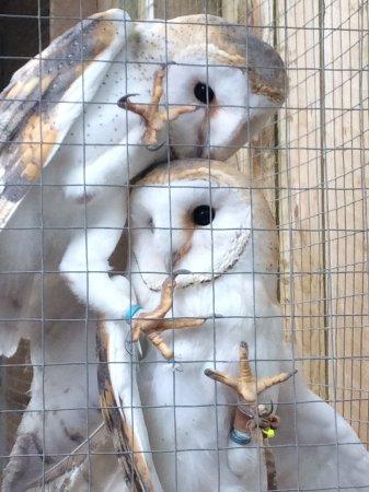 Huby, UK: Barn Owl sisters