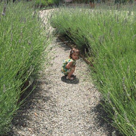 Monticiano, Italia: Lavender walk way