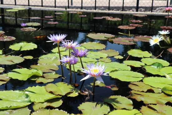San Angelo, TX: Beautiful waterlilies