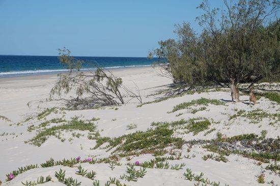 Bribie Island, Australien: kangaroos on the beach