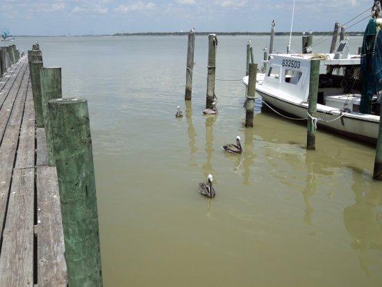 เบย์ทาวน์, เท็กซัส: Pelicans visiting the pier looking for some fish.