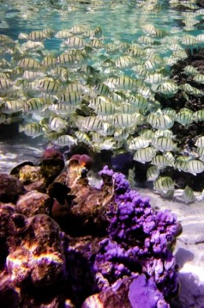 Le Taha'a Island Resort & Spa: Group of convicts in the coral garden