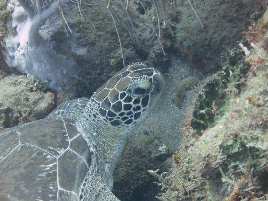 Saba Divers: Green Sea Turtle