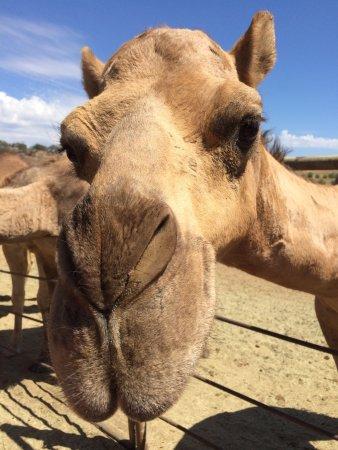 Ramona, CA: Oasis Camel Dairy