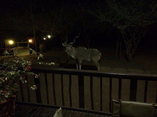 Marloth Park, جنوب أفريقيا: Visita de um Kudu durante o jantar