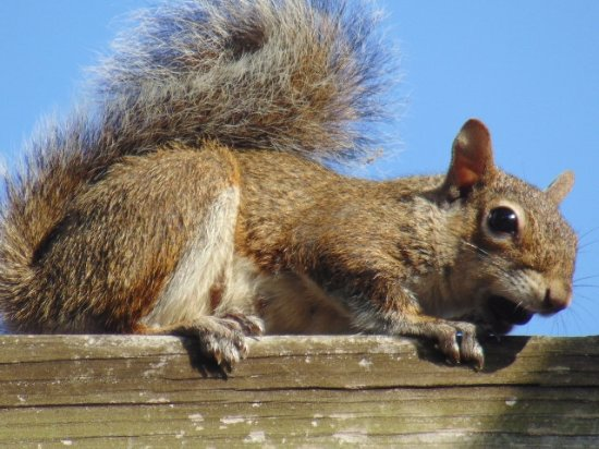 Cape Coral, FL: squirrel