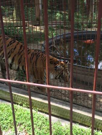 Sainte Genevieve, MO: Crown Ridge Tiger Sanctuary -  Tours