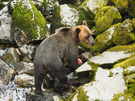 Wrangell, AK: Brown bear eating fish