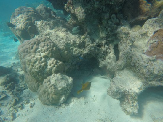 Titikaveka, Islas Cook: Puffer fish