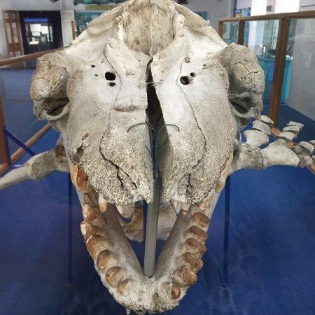 Eden, Australien: Skeleton of the killer whale 'Old Tom'
