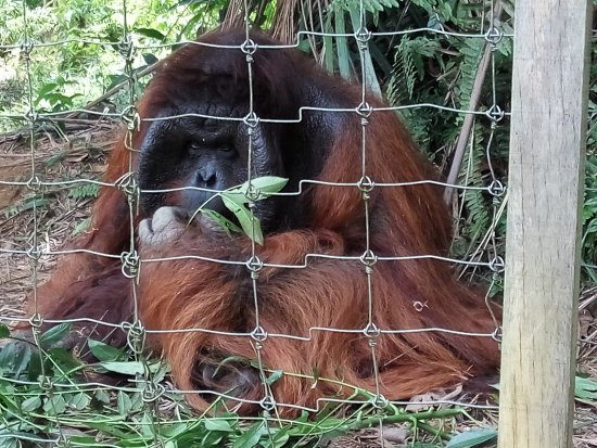 Semanggol, Maleisië: BJ  the dominant male who is 32 years old and weighs 120kg😃