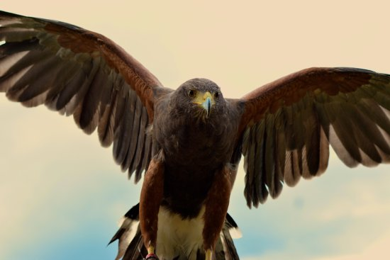 Kilmacthomas, ไอร์แลนด์: This is Holly the Harris Hawk