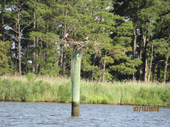 Rock Hall, MD: Osprey nest.