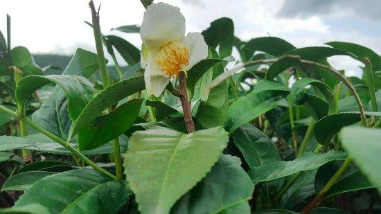 Doi Mae Salong: ดอกชา