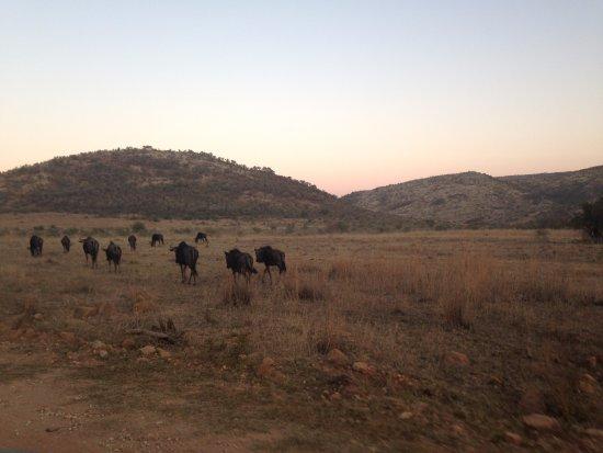 Pilanesberg National Park: wildebeests