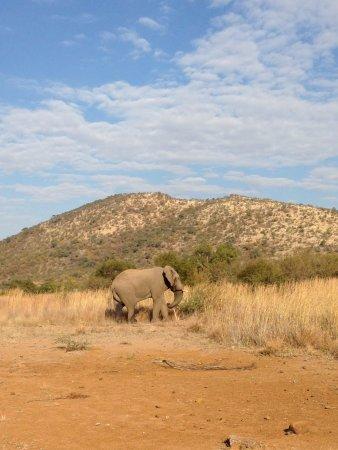 Pilanesberg National Park: the giant