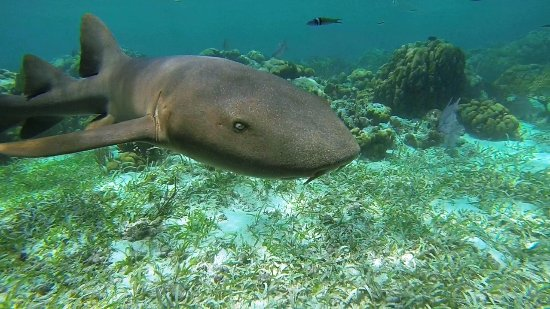 El Pescador Resort: Snorkeling at Hol Chan... Nurse sharks, jacks, permit, grouper and others seen in translucent wa