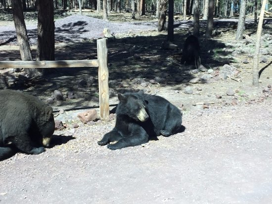 Williams, Αριζόνα: A couple of the bears