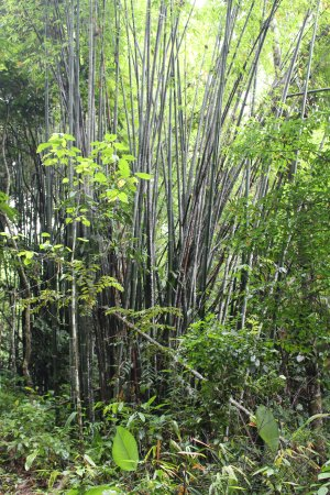 Khun Korn Waterfall : Bamboo in the jungle on the trail to the falls