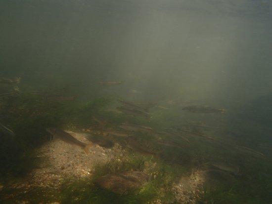 Rosman, นอร์ทแคโรไลนา: A large school of fish.