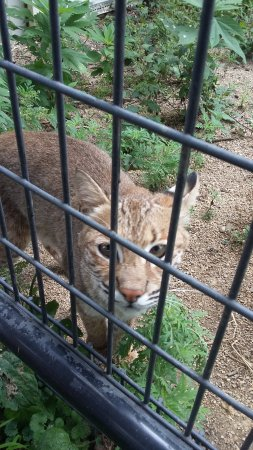 Rising Sun, IN: Adorable bobcats