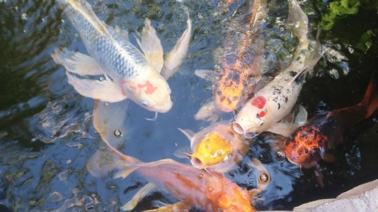The Avalon Hotel: Koi at Avalon pond on patio